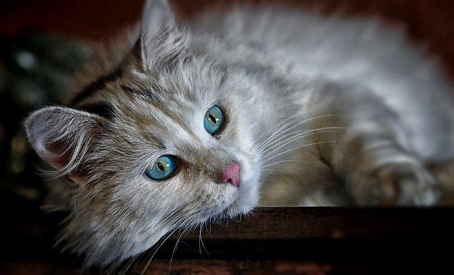 Chat blanc 1